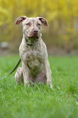 six month old: Puppy pit bull terrier 6 months old on a leash in the spring in the park Stock Photo