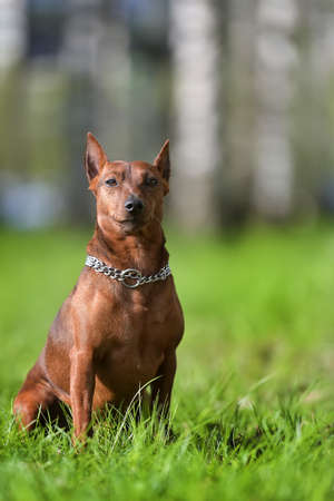 Dwarf pinscher in summer on green grass