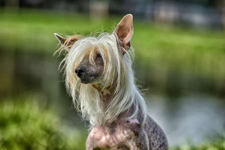 Old Chinese crested dog in the summer in the park