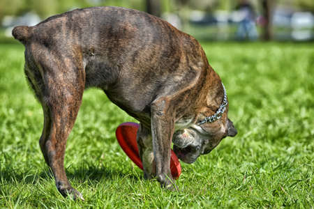 German boxer with cropped ears playing in the park