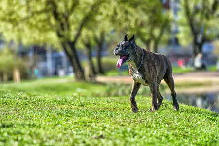 German boxer with cropped ears in the summer in the park