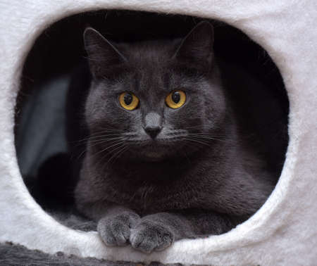 Gray cat in a cats house
