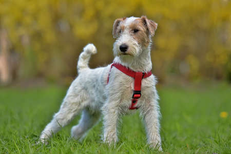 Airedale terrier in summer white with red