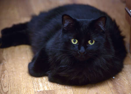 Chic black furry cat lies on the floor Stock Photo