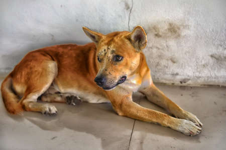 Red dog with bruises and scars on the muzzle