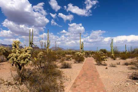 The huge cactus - Carnegie giant (Carnegiea gigantea). Organ Pipe Cactus National Monument, Arizona, US