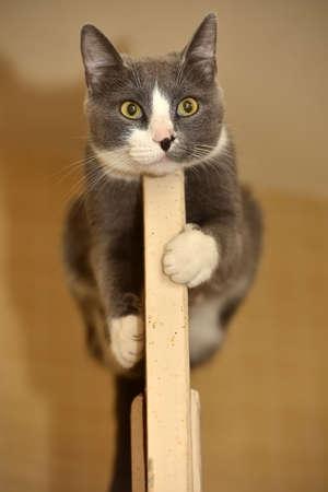 Gris con gato blanco se encuentra en la puerta Foto de archivo