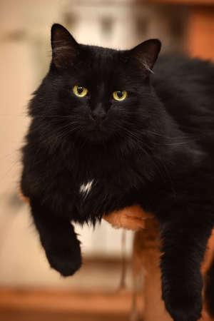 Chic black fluffy cat