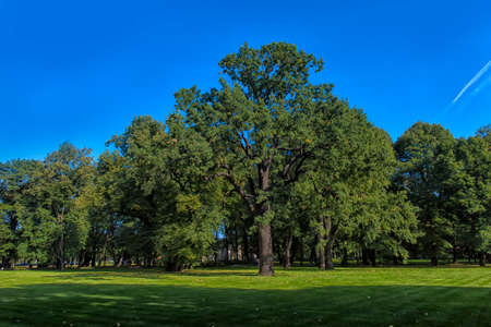 Large two-hundred-year-old oak on the lawn of the park Stock Photo
