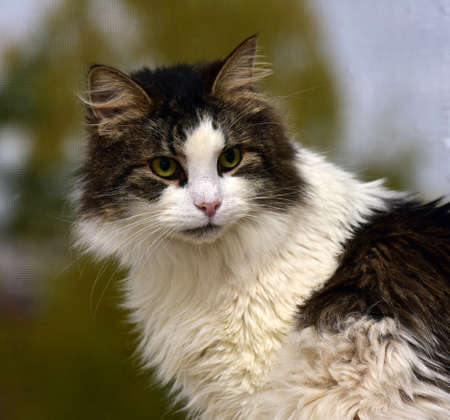 Norwegian forest cat on the windowsill Stock Photo