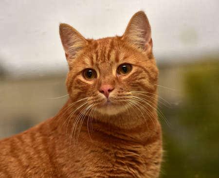 beautiful big red cat on the windowsill
