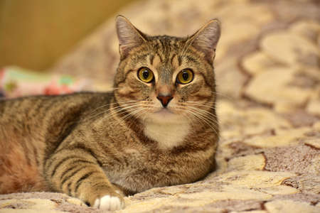 beautiful large brown shorthair cat lying on the couch Stock Photo