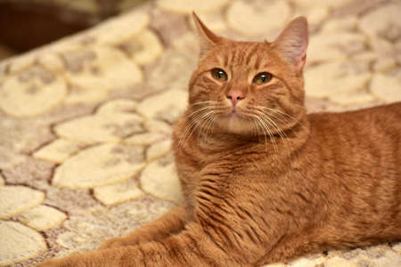 large red cat lying on the couch
