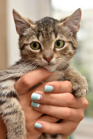 small striped kitten in hands Stock Photo