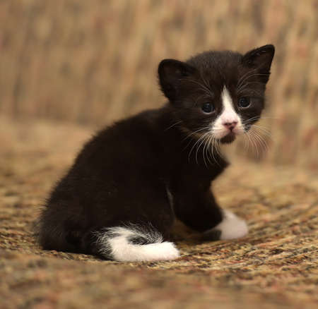 funny little black with a white kitten 1 month