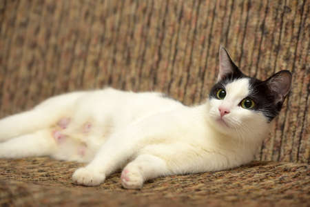beautiful white with a black cat lying on a brown couch
