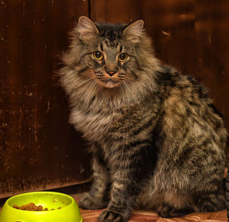 beautiful brown Siberian cat next to a bowl with food Stock Photo