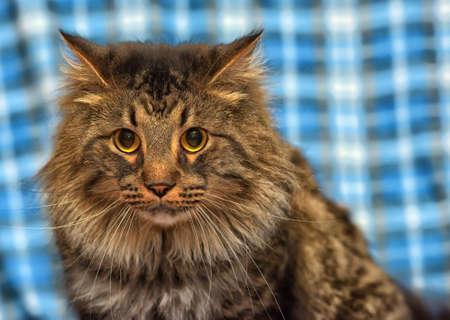 profile: beautiful brown Siberian cat portrait Stock Photo