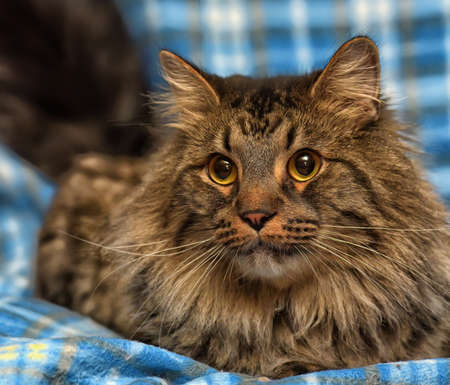 profile: beautiful brown Siberian cat lies on a blue background