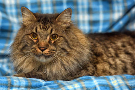 beautiful brown Siberian cat lies on a blue background