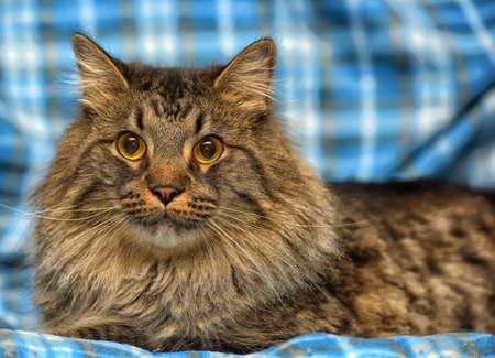 babies: beautiful brown Siberian cat lies on a blue background