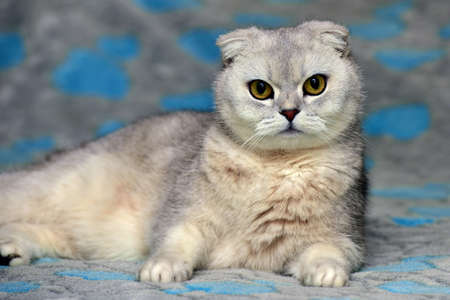 Scottish Fold cat, color silver