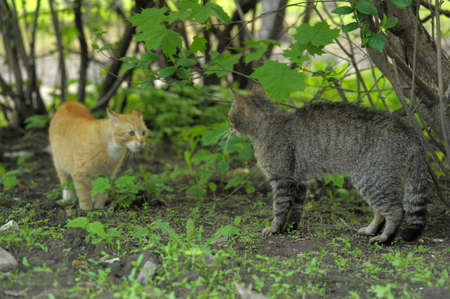 two cats red and striped quarrel in nature