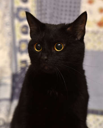grey eyed: short-haired black cat lying at home, Bombay cat Stock Photo