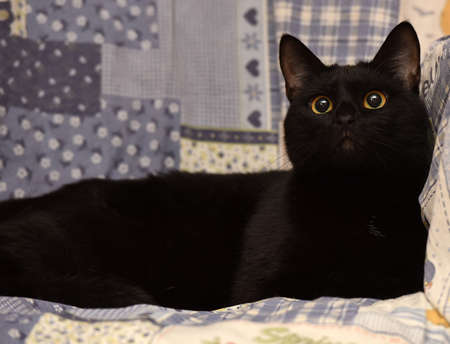 short-haired black cat lying at home, Bombay cat Stock Photo