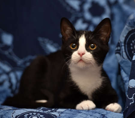 black with a white kitten on a blue background