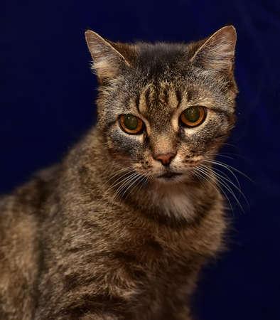 striped elderly cat on a blue background Stock Photo