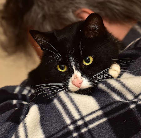 A black and white affectionate cat on hands
