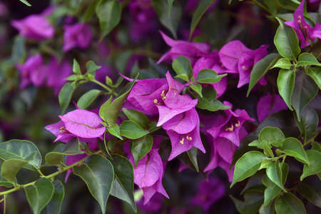 Bougainvillea or paper flower is a kind of tropical plant Stock Photo