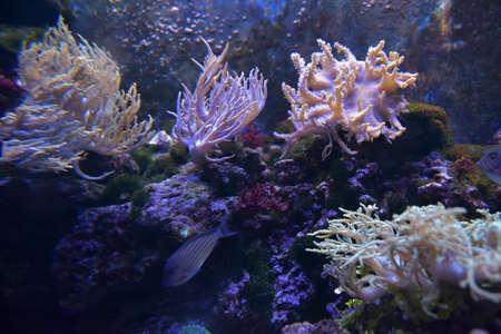 Reef tank, marine aquarium. Blue aquarium full of plants. Tank filled with water for keeping live underwater animals. Stock Photo