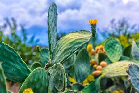 Cactus grow near road, Turkey