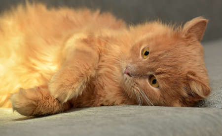 red cat lying on the couch