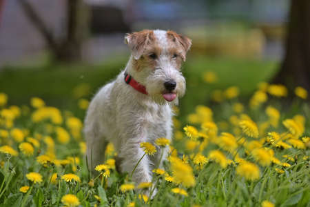 White with red airedale terrier among yellow dandelions