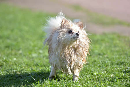 Pomeranian Spitz wet after bathing