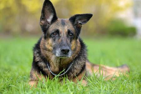 Portrait of an old German Shepherd 12 years old
