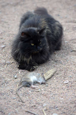 A cat caught a rat, sitting with prey