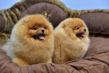 two Pomeranian spitzes are sitting