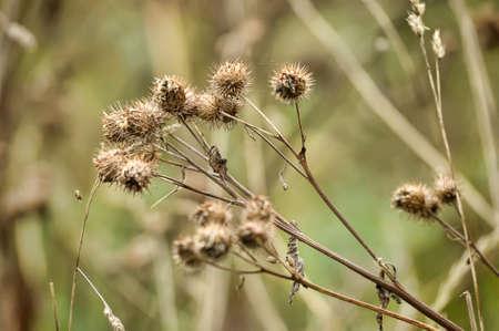 Dry spines of greater burdock (Arctium lappa)