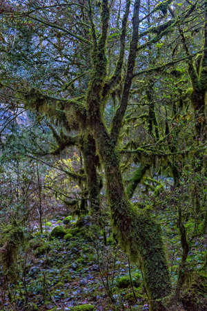 Fairytale forest with wild mossy boxwood trees