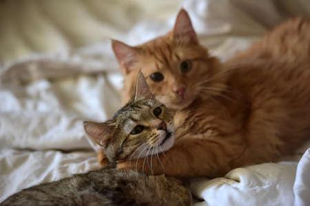 Friendship of the two  cats, orange and grey 版權商用圖片