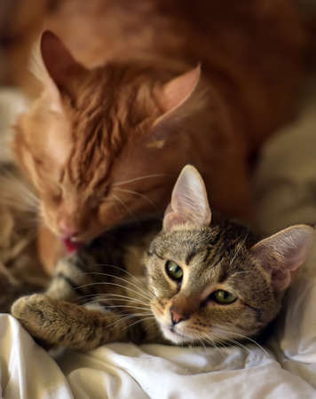 Friendship of the two  cats, orange and grey Stock Photo