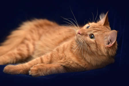 young red cat lying on a dark blue background Stock Photo