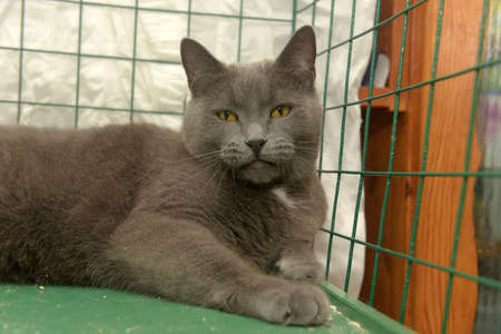 gray with a white speck on his chest British cat in a cage