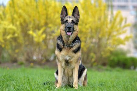 Old German Shepherd Dog on an Autumn Background