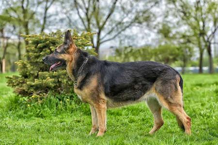 Viejo perro pastor alemán junto a un pequeño árbol en el parque