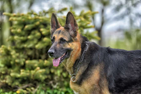old German shepherd dog next to a small tree in the park